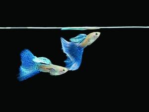 Dos guppys de cola azul