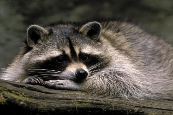 Un bonito mapache tumbado en un tronco