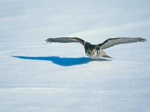 Postal: Un búho volando a ras del suelo nevado