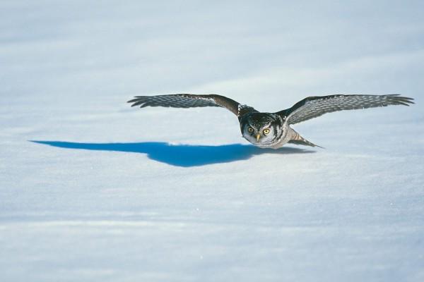 Un búho volando a ras del suelo nevado