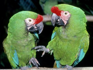 Dos loros verdes juguetones