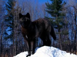 Un lobo negro en la nieve