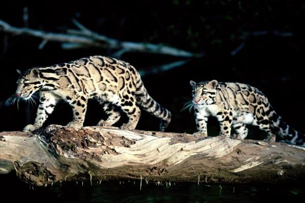 Dos panteras nebulosas caminando sobre un tronco