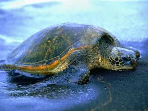 Postal: Tortuga saliendo del mar