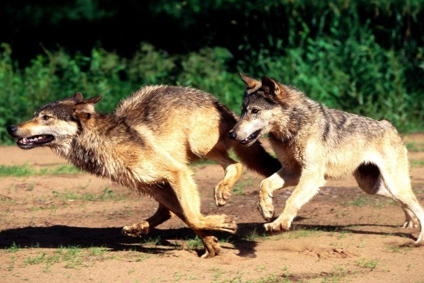 Dos lobos corriendo