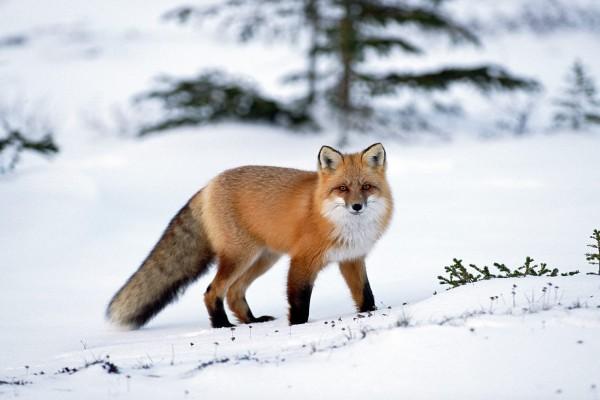 Un gran zorro sobre la nieve