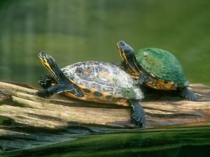 Dos tortugas sobre un tronco