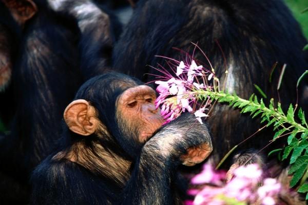 Un chimpancé oliendo una flor