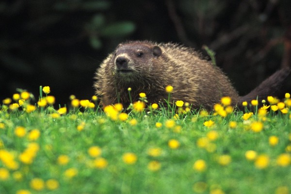 Una marmota entre flores amarillas