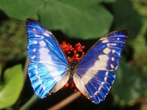 Mariposa con alas azules brillantes