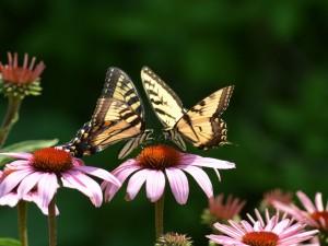 Postal: Mariposas sobre una flor rosa