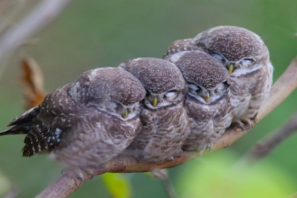 Pequeños búhos en una rama
