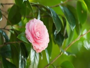 Una bella camelia rosa en la planta