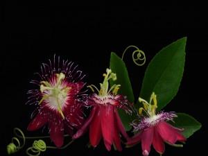 Extraordinarias flores de la pasión en fondo negro