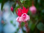Flores fucsias cuelgan de una planta