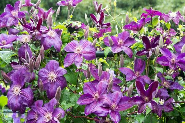 Un conjunto de bellas flores color púrpura