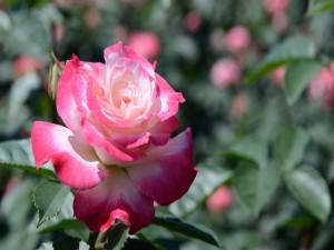 Una delicada y perfumada rosa con pétalos rosa y centro blanco