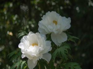 Unas delicadas peonias blancas