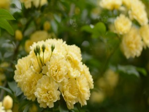 Postal: Flores amarillas en la planta