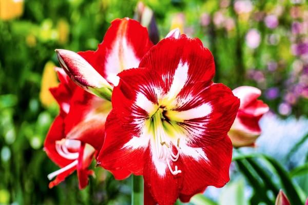 Delicadas flores rojas, blancas y centro amarillo