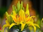 Pimpollos y flores de lilium amarillos