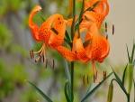 Elegantes liliums naranjas en la planta