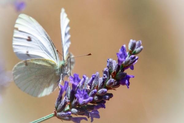 Una mariposa blanca sobre una ramita con flores