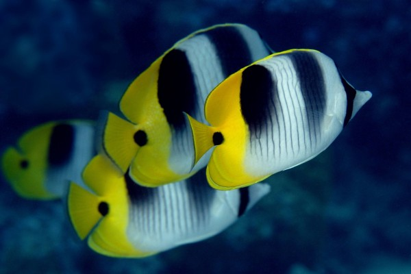 Bonitos peces mariposa