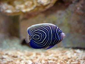 Postal: Un bonito pez en un acuario