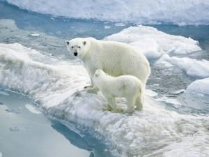 Oso y osezno polar