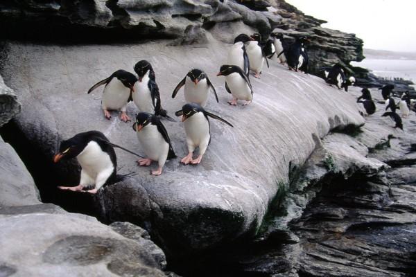 Colonia de pingüinos de penacho amarillo