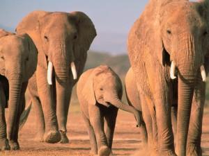 Postal: Elefantes caminando