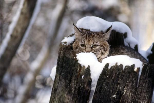 Un gato montés dentro de un tronco nevado