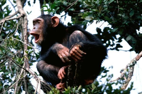 Un chimpancé en lo alto de un árbol
