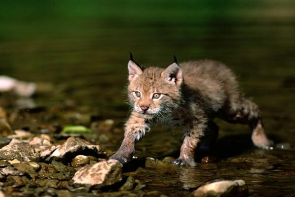 Pequeño lince cruzando el río
