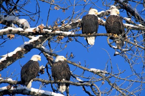 Águilas sobre las ramas nevadas de un árbol
