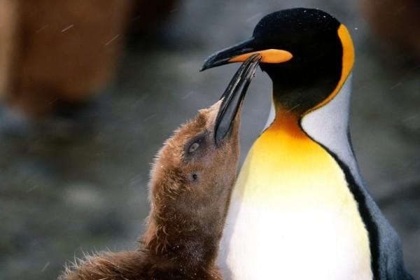 Polluelo y pingüino rey