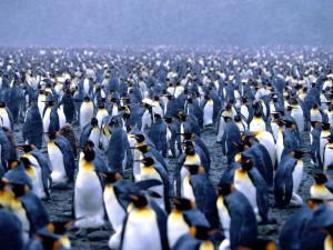 Nieva sobre una gran colonia de pingüinos rey