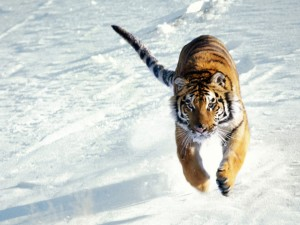 Salto de un gran tigre siberiano