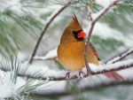 Cardenal hembra sobre un pino cubierto de nieve