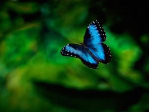Postal: Mariposa azul volando