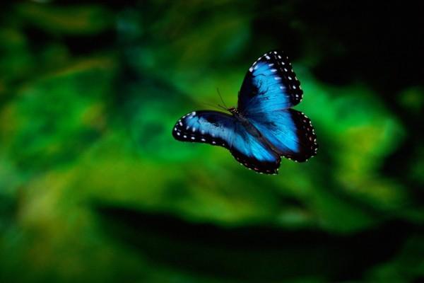 Mariposa azul volando