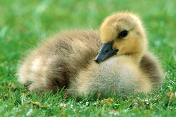 Un pato joven sobre la hierba