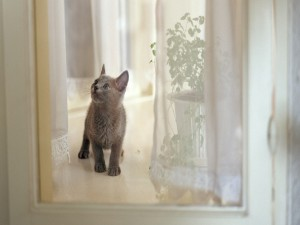 Un gatito mirando las cortinas