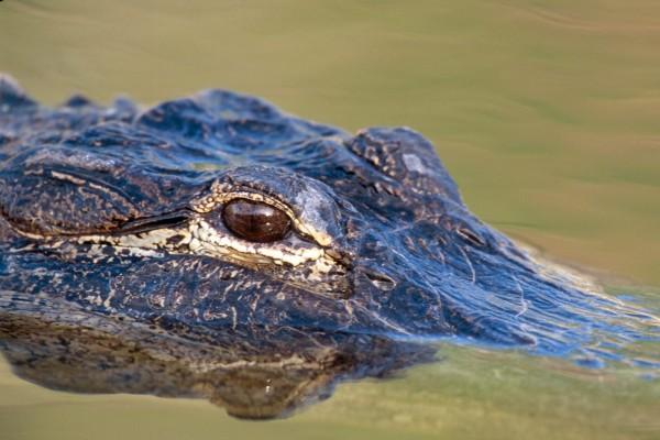 El ojo de un caimán
