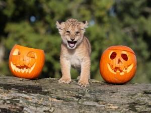 Un cachorro de león entre dos calabazas de Halloween