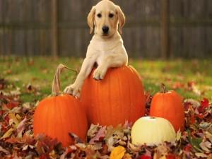 Un perro en el jardín junto a las calabazas para Halloween