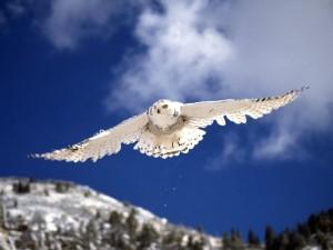 Un búho nival volando