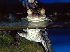 Un pequeño caimán en el agua