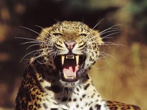 Leopardo mostrando sus grandes colmillos
